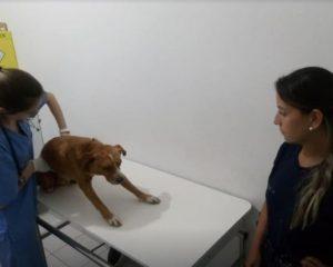 Cão Atropelado-Divulgação Folha de Santa Catarina